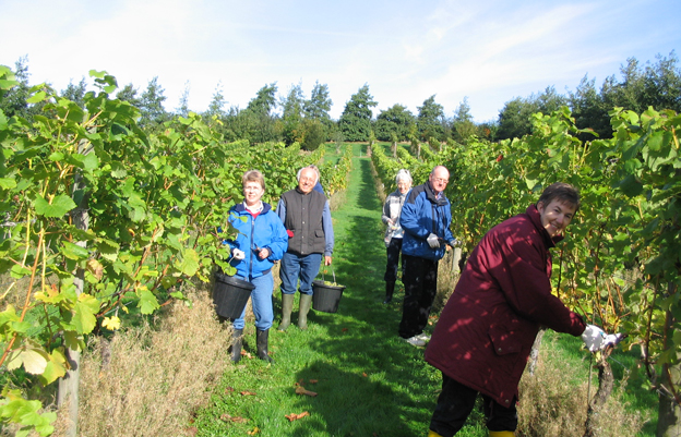 Workers picking grapes at Welland Valley Vineyard in Northamptonshire