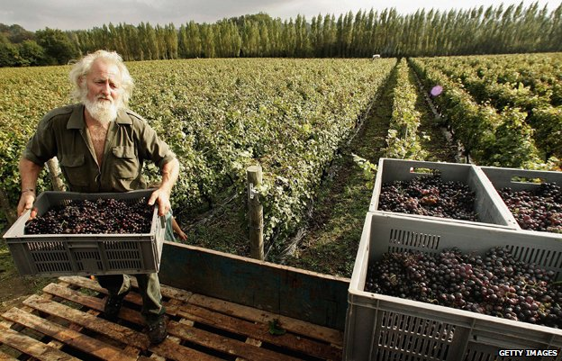 A man collects harvested pinot meunier grapes at Nyetimber Vineyard in West Chiltington, England