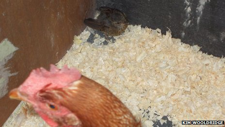 Chicken with a robin in a hen house
