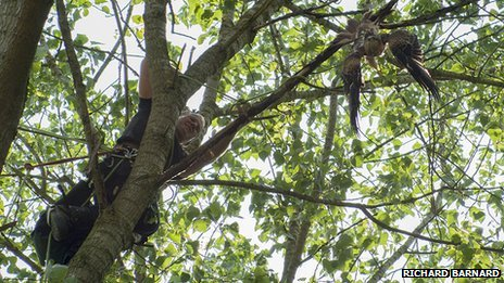 Red kite rescue