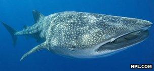 Whale shark (c) NPL.com