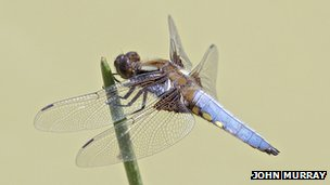 Broad-bodied chaser dragonfly resting on vegetation