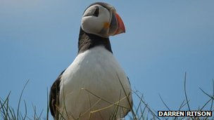 Puffin by Darren Ritson