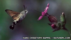 Hummingbird hawk moth drinking nectar