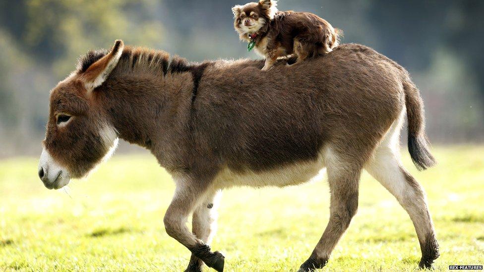 micro miniature donkeys are a big hit in australia   cbbc