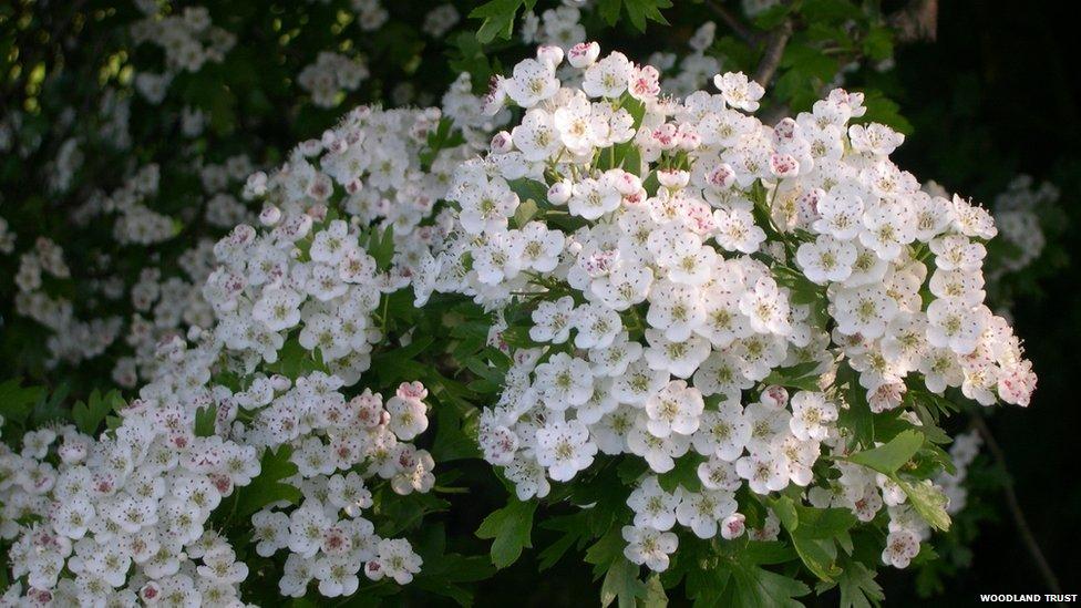Hawthorn Tree Flowers Hawthorn Tree in Flower