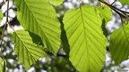 Leaves of a hornbeam tree