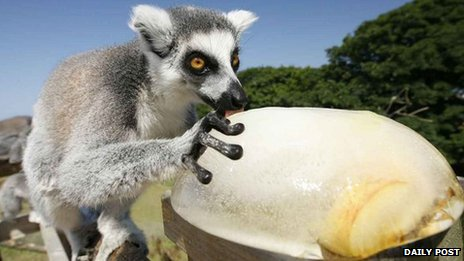 A lemur enjoying iced fruit at Welsh Mountain Zoo