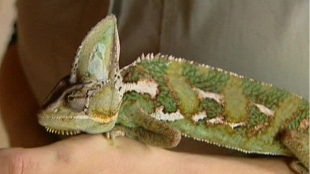 Chameleon left behind