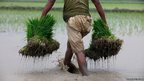 A farmer carries bundles of rice seedlings