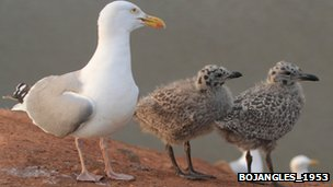 Herring gull adult and two chicks