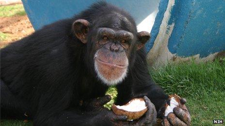 Chimpanzee eats a coconut at Alamogordo Primate Facility, New Mexico file picture