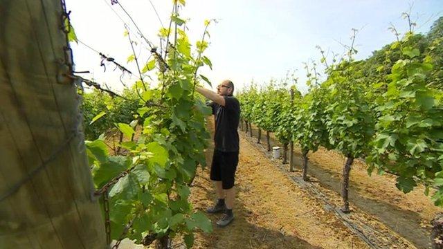 Man tending vine
