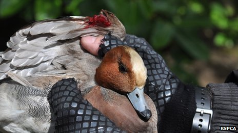 Injured duck