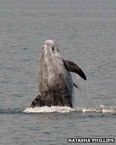 Risso's Dolphin near the Isle of Man