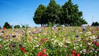 Multicoloured, vibrant wild flowers in the foreground. Large, leafy trees in the background in front of a clear blue sky.