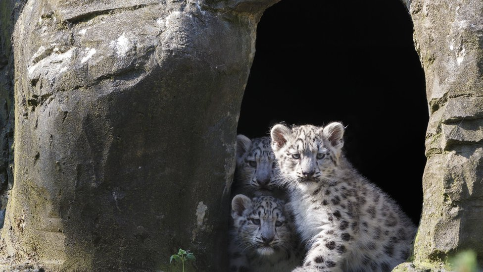 Rare baby snow leopards arrive at marwell zoo cbbc newsround