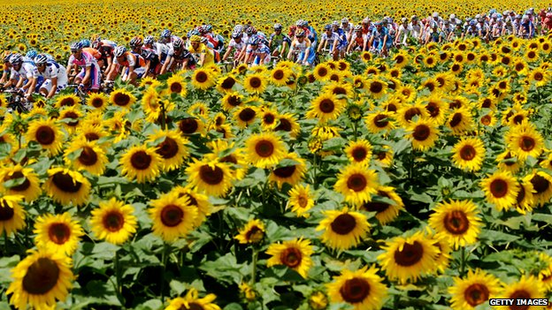 The peloton rides through sunflower fields on the 2009 Tour