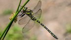 Golden-ringed dragonfly / Tricia Gibson