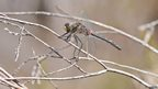 White-faced darter / David Morris