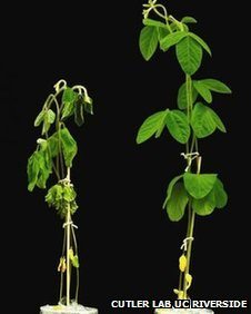 Soybean plants with and without a new chemical