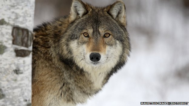 Eastern grey wolf (Canis lupus lycaon)