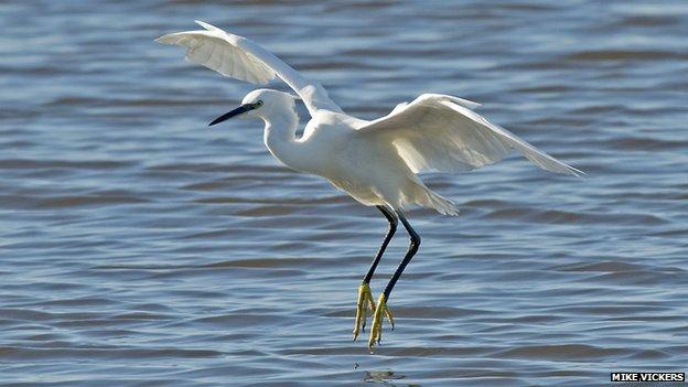 A little egret at Besthorpe Nature Reserve