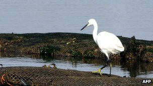 A little egret