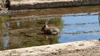 A rabbit in water, small mud banks either side of the water.