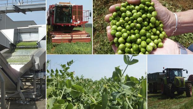 Pea harvesting pics