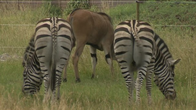 Zebras and eland at the Wild Place Project near Bristol