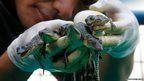 A caretaker shows newly-hatched baby crocodiles