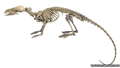 Skeleton of Hero Shrew