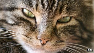 Cat Allergy Research Offers New Clues Bbc News