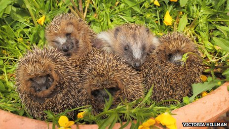 Five rescued hoglets at Secret World