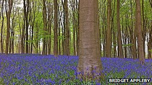 Bluebells carpet a forest floor
