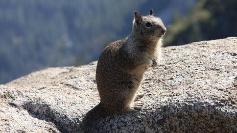 California Ground Squirrel (Otospermophilus beecheyi)