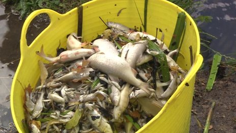 Dead fish from Pittville Park's lake in Cheltenham