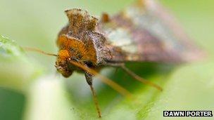 Brass moth