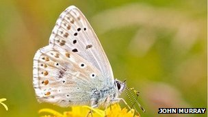 Chalk-hill blue butterfly