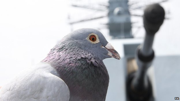 Racing pigeon that got lost