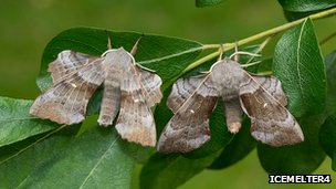 Poplar hawk-moths