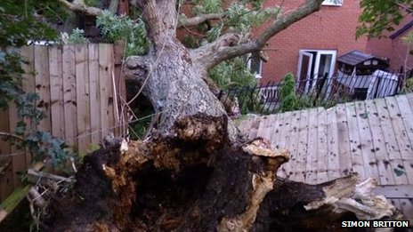 Uprooted tree in Melton Mowbray