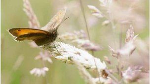 Meadow Brown (copyright: Deborah Rigden)