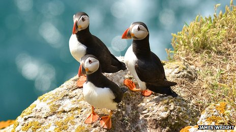 Puffins on Lundy