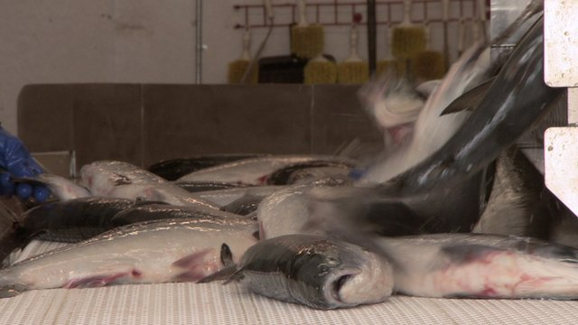 Around 25 million salmon are caught in Bristol Bay