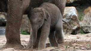 Nayan the baby elephant