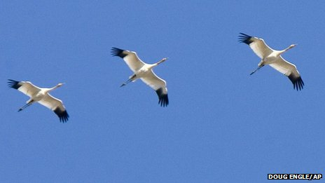 Young Siberian white cranes on part of their migration to Asia