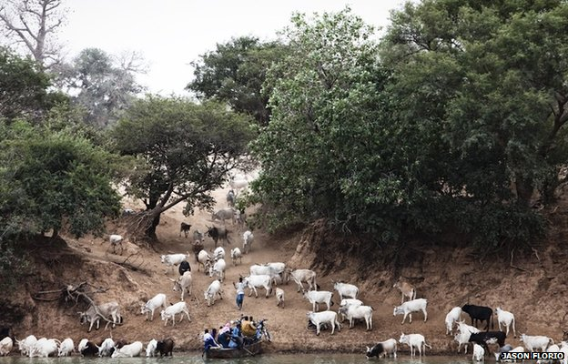 A small ferry called a barra lands on the south bank of River Gambia in eastern Gambia surrounded by cattle owned by Fula tribesmen