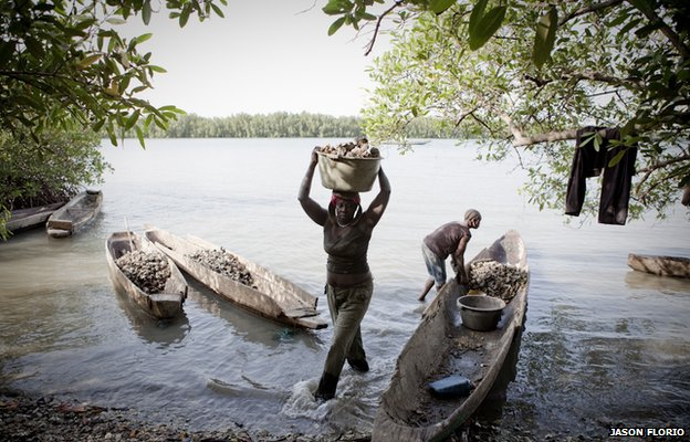 Migrant workers from Guinea Bissau collecting oysters that hang from the mangroves along the shores of a tributary of River Gambia